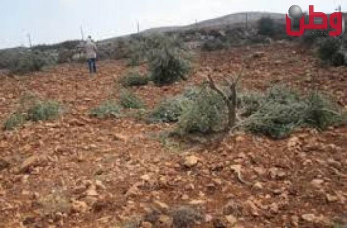 مستوطنون يقطعون 80 شجرة زيتون ويجرفون أكثر من 60 دونما شمال رام الله